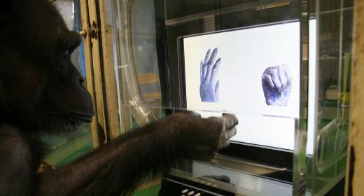 Les chimpanzés sont aussi habiles au jeu Pierre – feuille – ciseaux que des enfants de 4 ans
