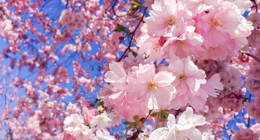Où voir des cerisiers en fleurs à Kyoto