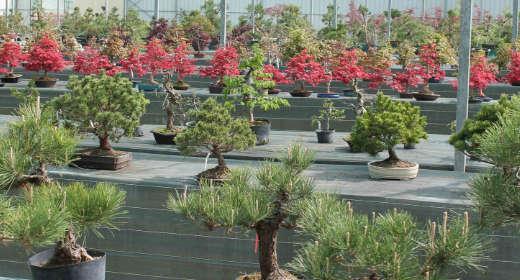 Zoom sur une pépinière bonsai en France